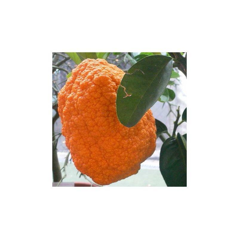 Cedro della Cina (Citrus medica Aurantiata)