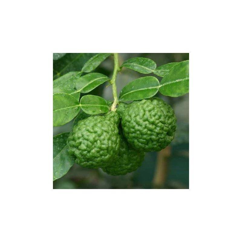 Papeda delle Mauritius (Citrus Hystrix)