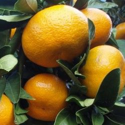 Satsuma (Citrus unshiu)
