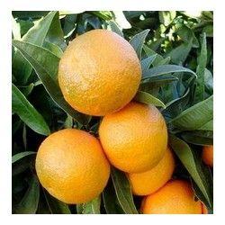 Clementine (Ibrido Mandarino-Arancio)