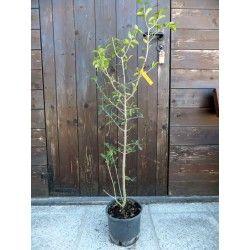 Acerola (Malpighia glabra)