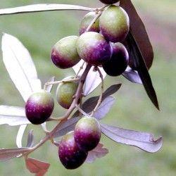 Olivo Coroncina
