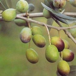 Olivo Dolce agogia