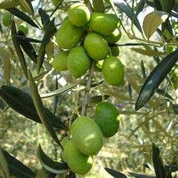 Olivo Nostrale di Rigali