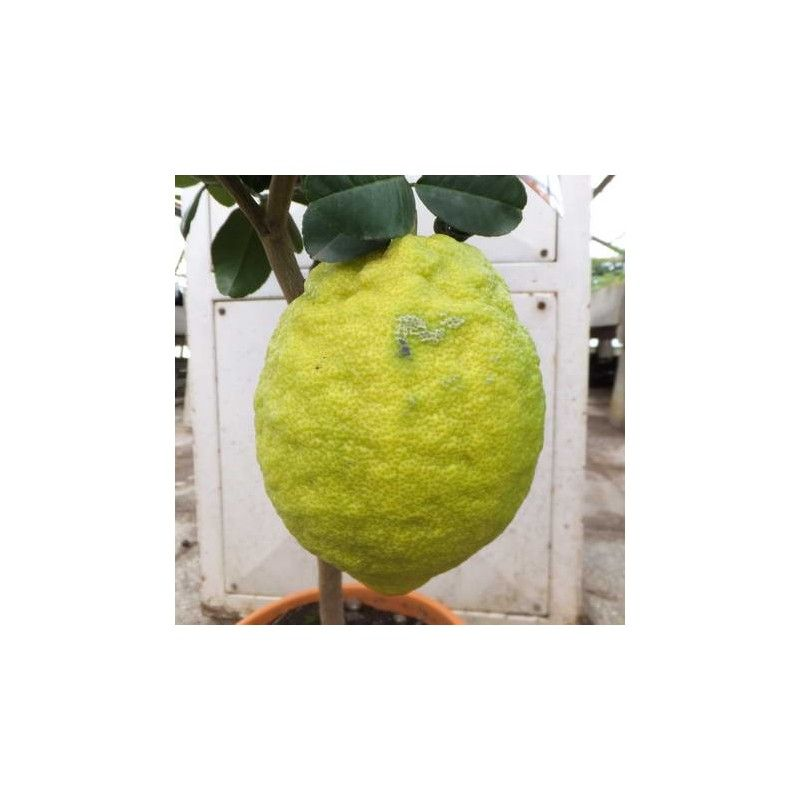 Cedro Maxima (Citrus medica)