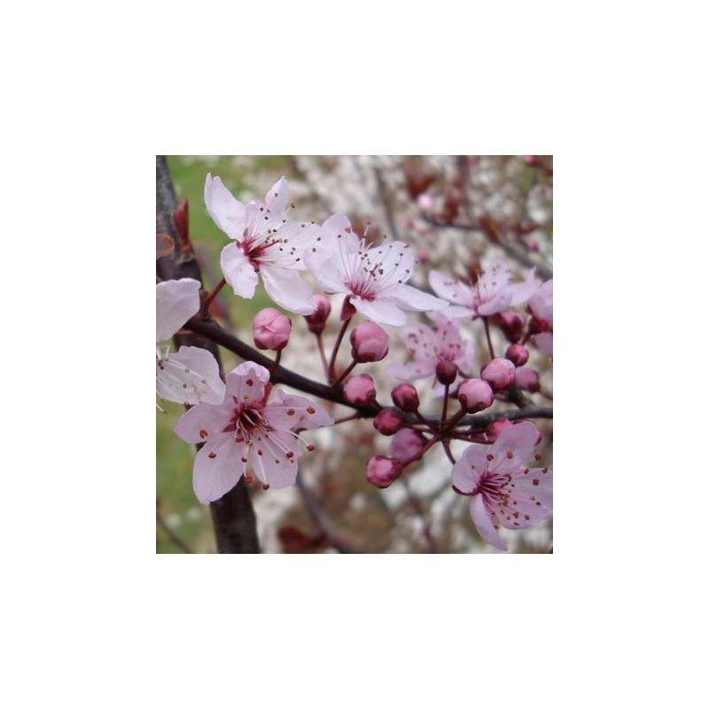 "Prunus cerasifera ""Pissardii"""