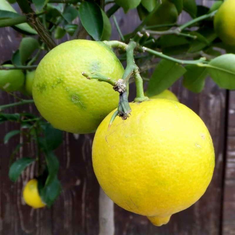 Limetta gialla (Citrus limetta)