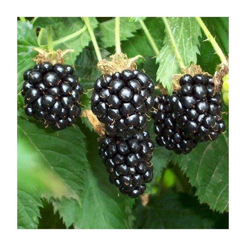 Mora senza spine (Rubus fruticosus)