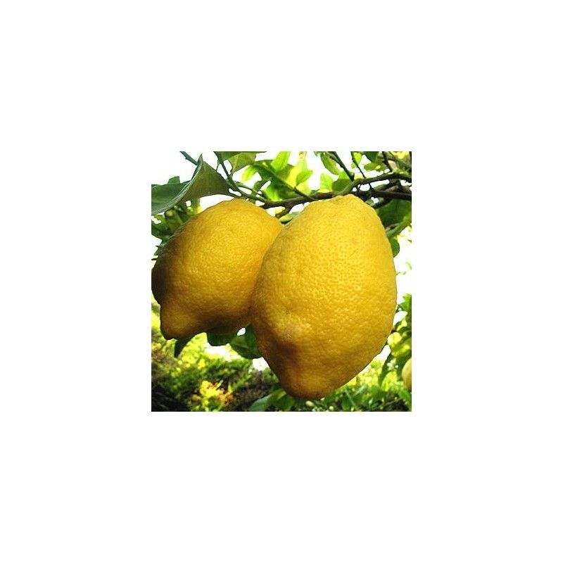 "Limone sfusato amalfitano (Citrus limon ""Amalphitanum"")"