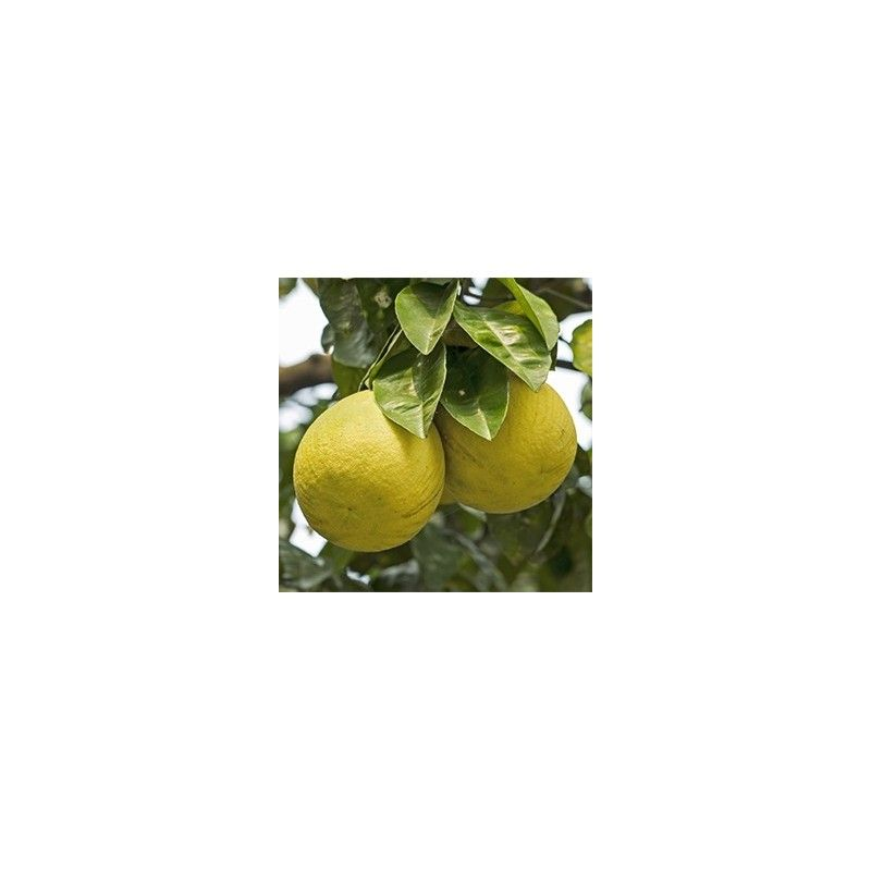 Pomelo Chandler (Citrus grandis)