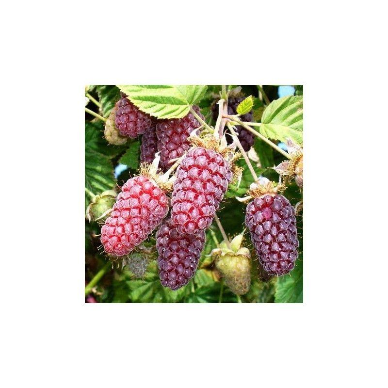 Loganberry (Rubus × loganobaccus)
