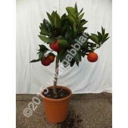 Arancio Moro (Citrus Sinensis)