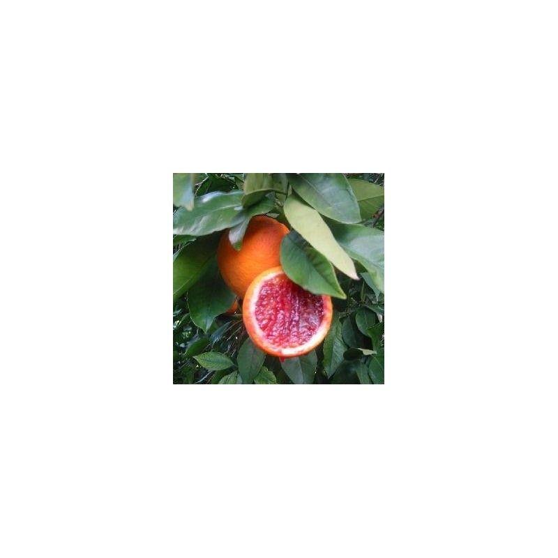 Arancio Sanguinello (Citrus sinensis)