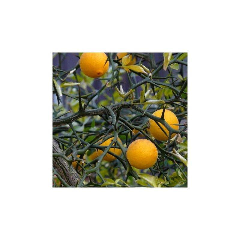 Ponciro o Arancio trifogliato (Poncirus trifoliata)