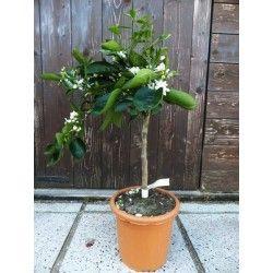 Arancio Bizzarria (Arancio Arcobal (Cistrus meyer x sinensis doppio sanguigno)× aurantium bizzarria)