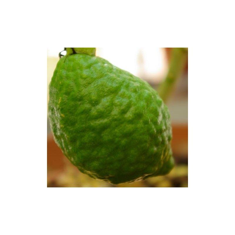 Cedro di Corsica (Citrus medica)