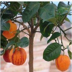 Arancio Arcobal (Citrus meyer x sinensis doppio sanguigno)