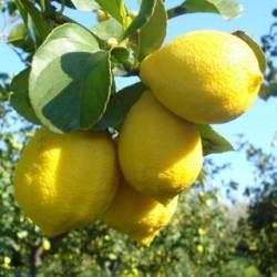 """Limone femminello """"Zagara bianca"""""""