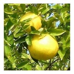 Pompelmo giallo (Citrus paradisi)