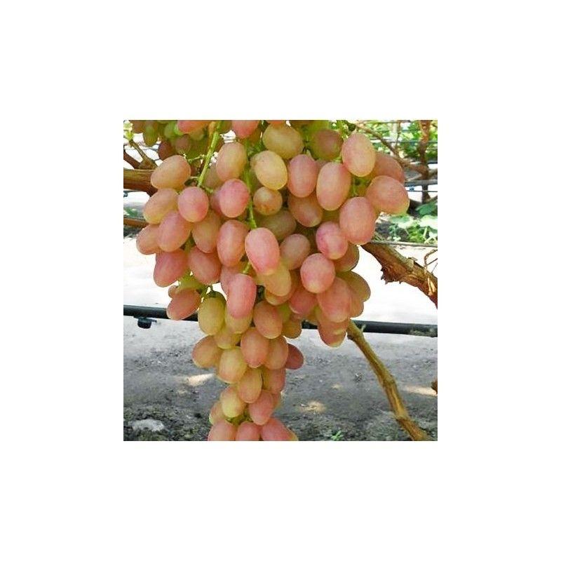 Vite da tavola Apirena bianco-rosata