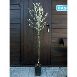 Olivo Santa Caterina