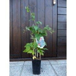 Lampone nero (Rubus occidentalis)