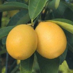 Limequat (Citrus floridana)