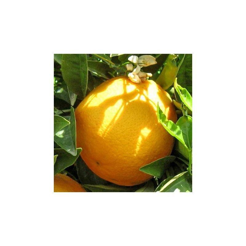 Arancio Thompson (Citrus sinensis)