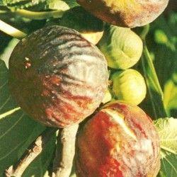 Fico Colummaro nero  (Ficus Carica)