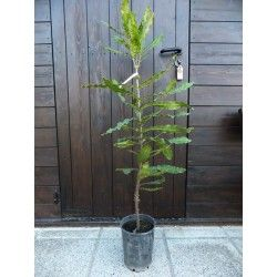 Noce Queensland (Macadamia tetraphylla)