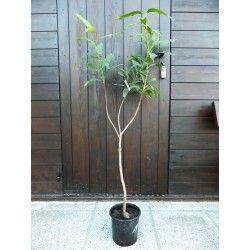Melarosa (Syzygium jambos)