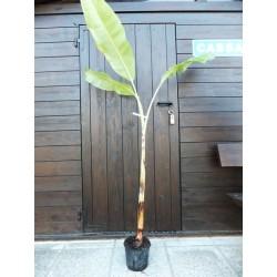Banano (Enana canaria)