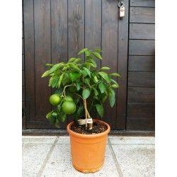 Arancio Bizzarria (Citrus × aurantium bizzarria)