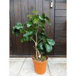 Pomelo Shaddock (Citrus grandis)