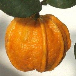 Arancio Amaro Scannellato (Citrus canaliculata)