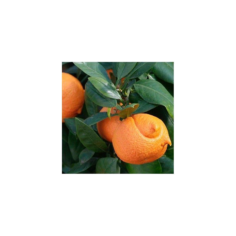 Arancio Amaro Cornuto (Citrus corniculata)