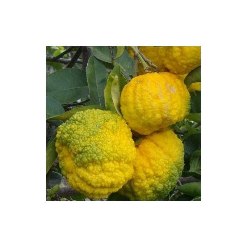 Cedro Pompia (Citrus mostruosa)