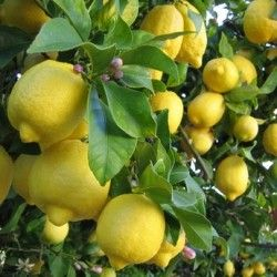 Limone Verna