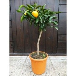 Clementine Amoa 8 (Ibrido Mandarino-Arancio)