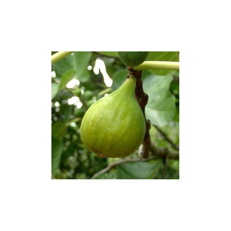 Fico Gentile (Ficus Carica)