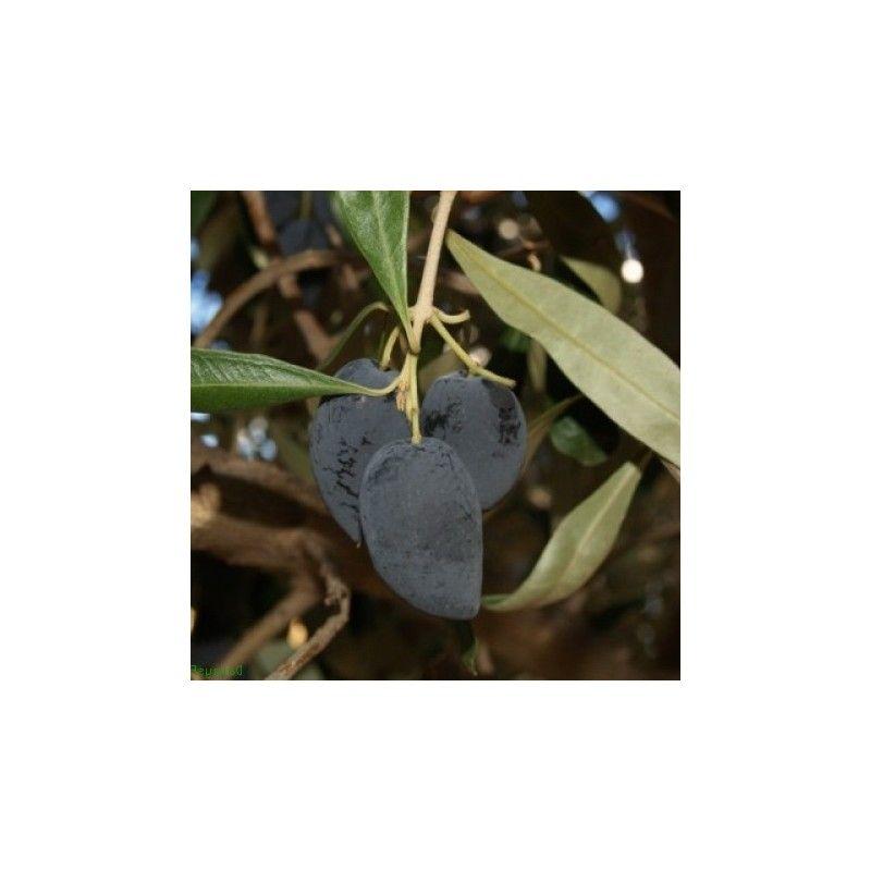 Olivo Kalamata