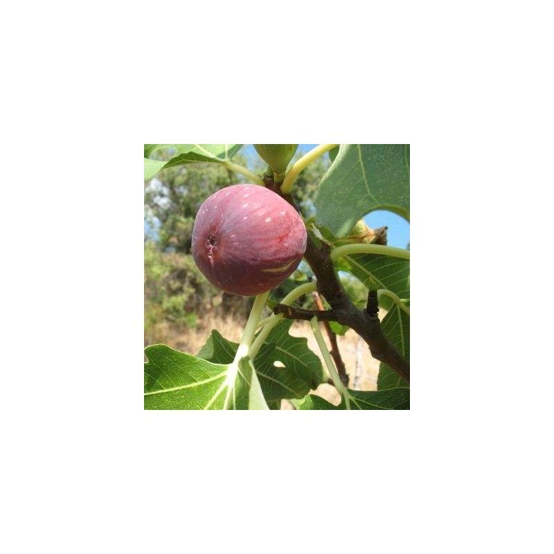 Fico Dauphine (Ficus Carica)