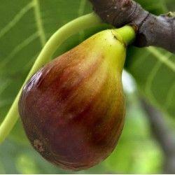 Fico Madeleine des 2 saisons (Ficus Carica)