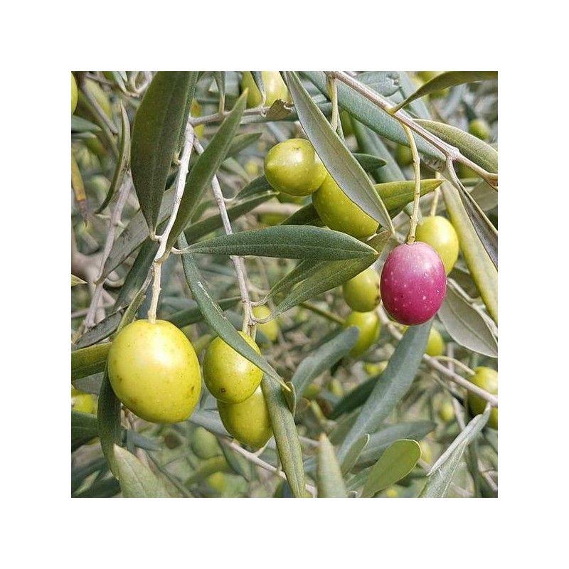 Olivo Semidana