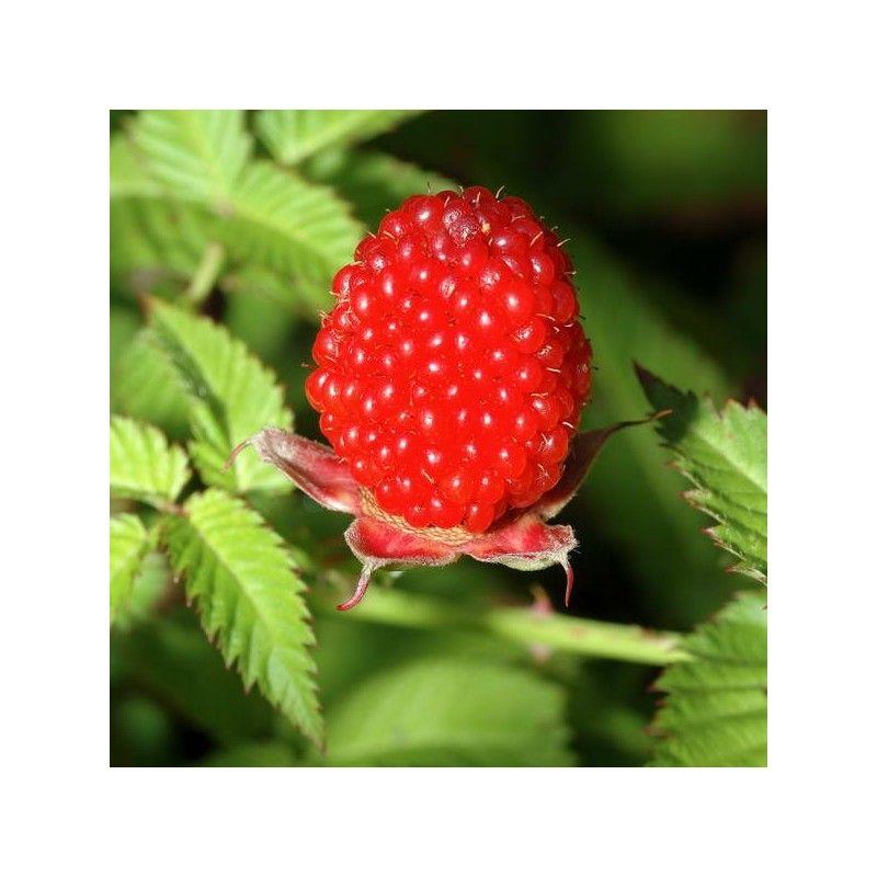 Lampone fragola (Rubus illecebrosus)