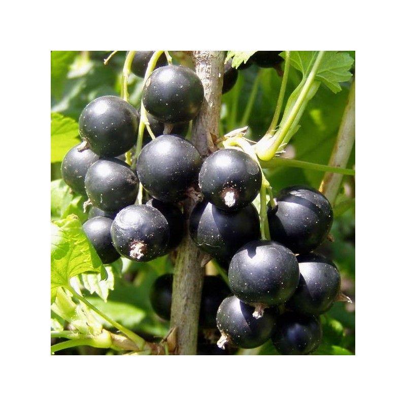 Ribes nero (Ribes nigrum)