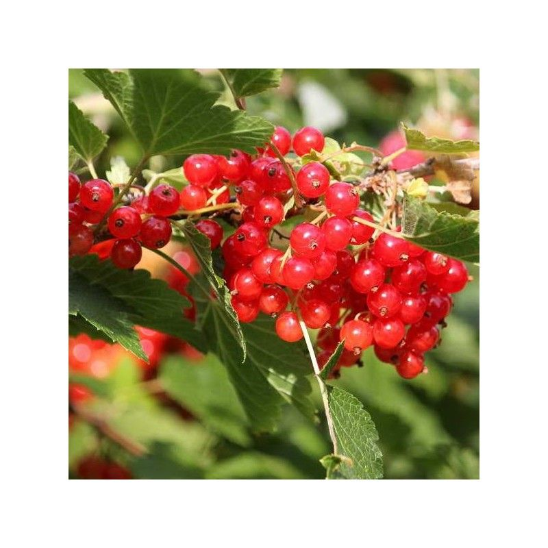 Ribes rosso (Ribes rubrum)