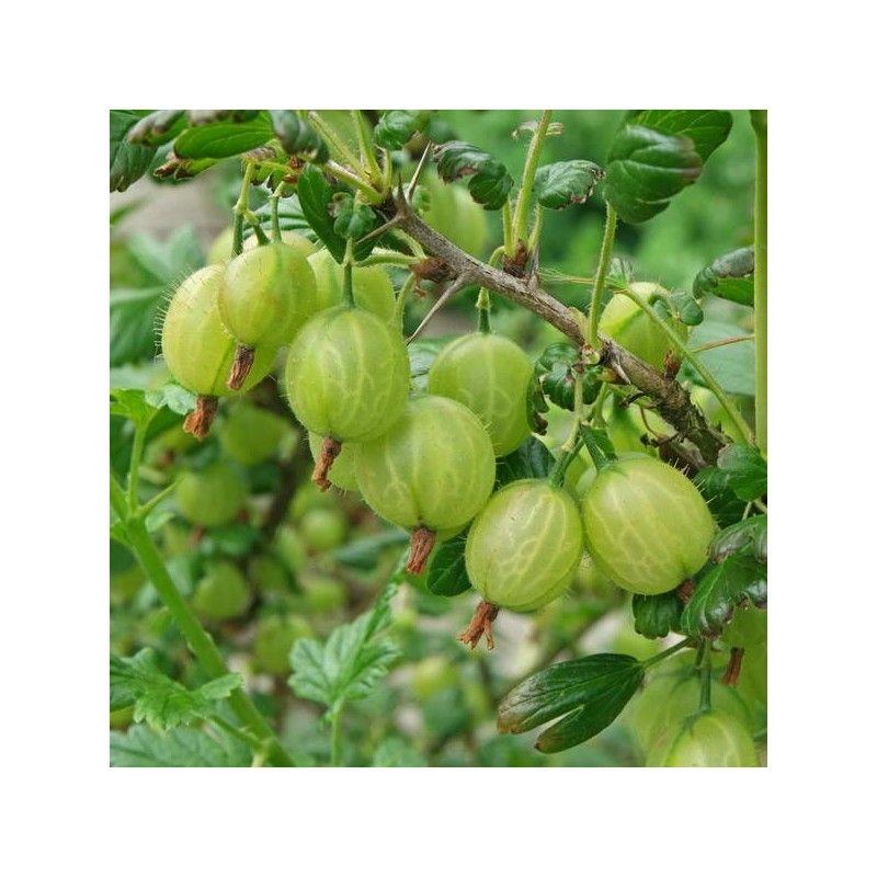 Uva spina bianca (Ribes grossularia)