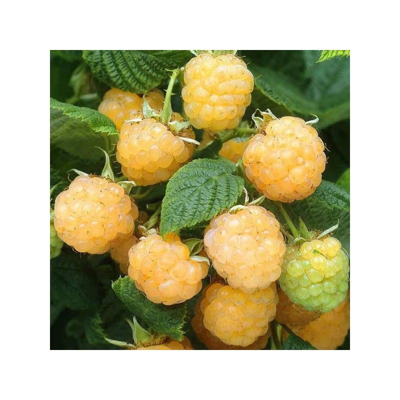 "Lampone giallo ""Fallgold"" (Rubus idaeus)"