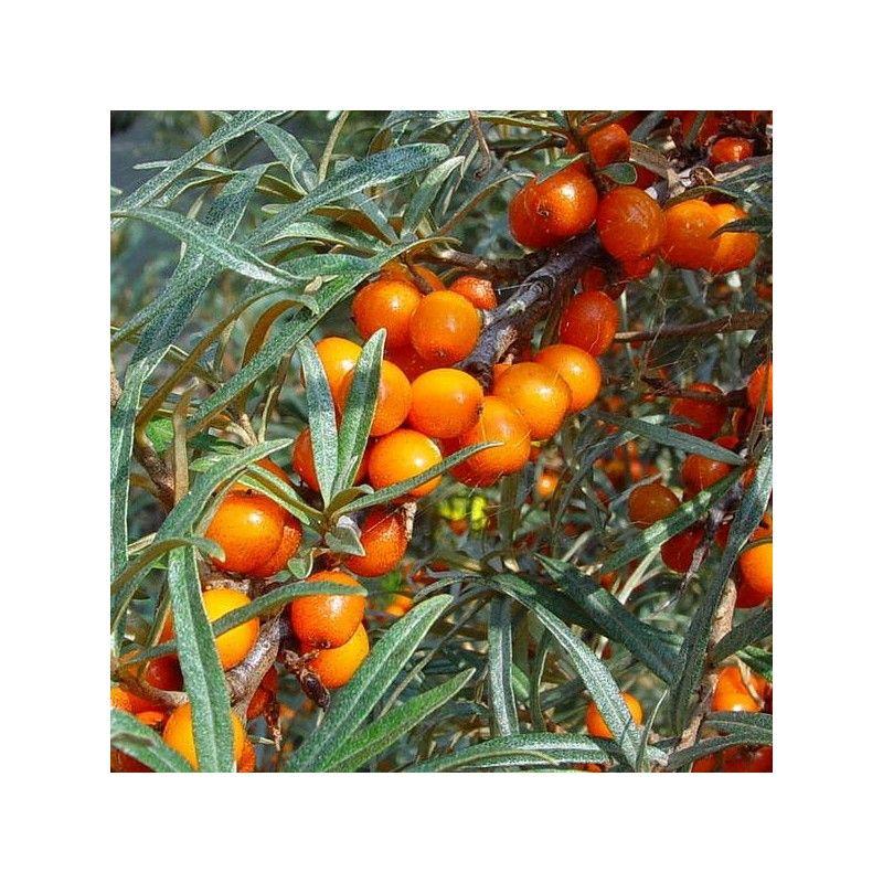 Olivello spinoso FEMMINA (Hippophae rhamnoides)